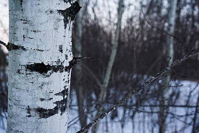 Photograph - Simple Aspen No.3 by Desmond Raymond