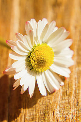 Stem Photograph - Simple Camomile  In Sunlight by Jorgo Photography - Wall Art Gallery