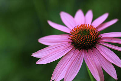Photograph - Simple Coneflower by Shari Jardina