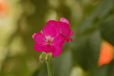 Photograph - Simple Geranium Flower by George Olney