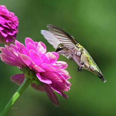 Birds With Flowers Photograph - Simple Pleasure Hummingbird Square by Christina Rollo