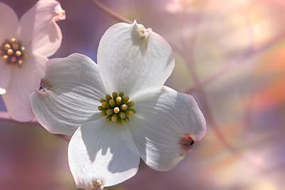 Photograph - Simplicity A Dogwood Blossom by Mary Almond