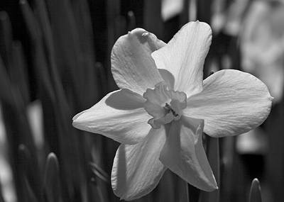 Photograph - Simplicity - Daffodil In Black And White by Jane Eleanor Nicholas