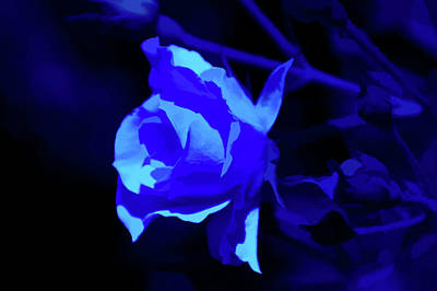 Photograph - Simply Blue Rose Close Up by Aimee L Maher ALM GALLERY