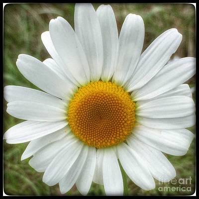 Photograph - Simply Daisy by Susan Garren