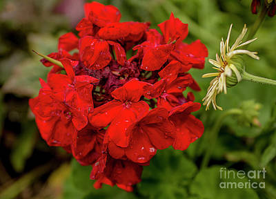 Photograph - Simply Red by Reynaldo Brigantty