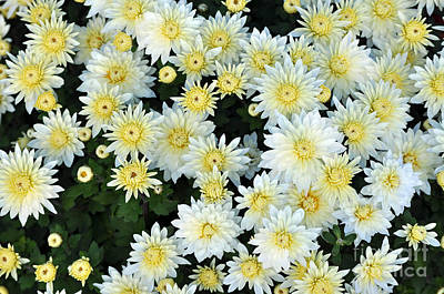 Species Photograph - Simply White Yellow Buttons Aster Flowers by Debra  Miller