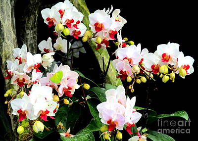 Photograph - Singapore Orchid 2 by Randall Weidner