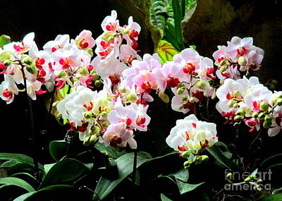 Photograph - Singapore Orchid 3 by Randall Weidner