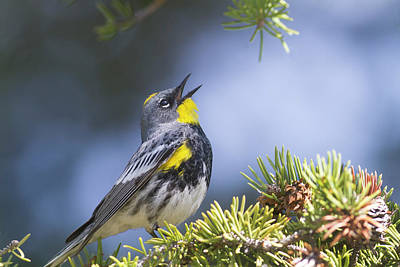 Photograph - Singing Audubon's Warbler by Mark Miller
