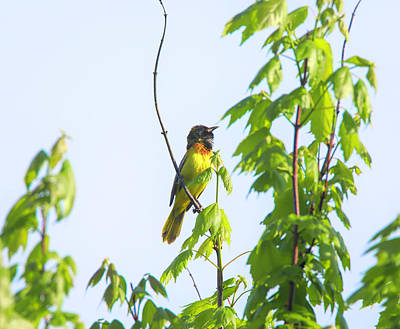 Photograph - Singing Baltimore Oriole by Dan Sproul