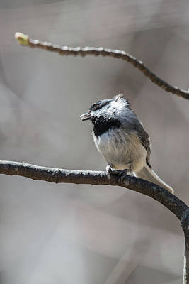 Photograph - Singing Black-capped Chickadee With Seed by John Haldane