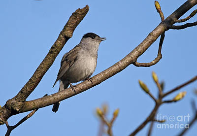 Blackcap Photograph - Singing Blackcap by Neil Bowman/FLPA