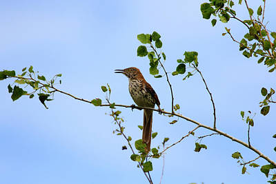 Photograph - Singing Brown Thrasher by Gary Hall