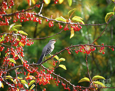 Mockingbird Photograph - Singing For His Supper - Northern Mockingbird In The Berries by Kerri Farley