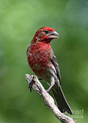 Design Turnpike Vintage Maps - Singing House Finch  by Cindy Treger
