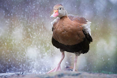 Photograph - Singing In The Rain by Cindy Hartman