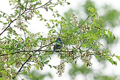 Photograph - Singing Indigo Bunting In Spring Blossoms by Debbie Oppermann