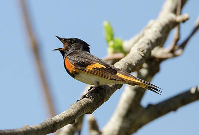 American Redstart Photograph - Singing by Judd Nathan