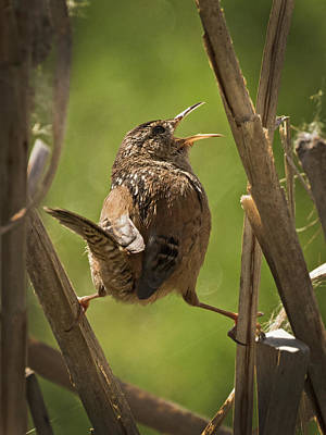 Photograph - Singing Marsh Wren by Inge Riis McDonald