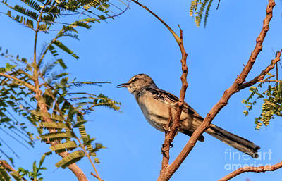 Photograph - Singing Mockingbird by Robert Bales