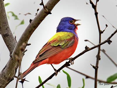 Photograph - Singing Painted Bunting by Bob Zeller