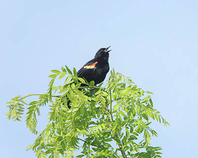 Photograph - Singing Red Winged Blackbird by Dan Sproul