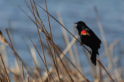 Photograph - Singing Red-winged Blackbird by Joni Eskridge