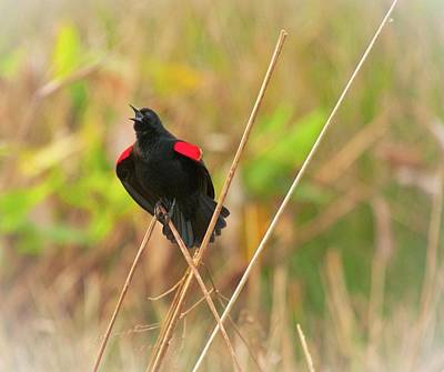 Photograph - Singing Redwing Blackbird by Michael Raiman