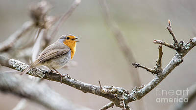 Photograph - Singing Robin by Torbjorn Swenelius
