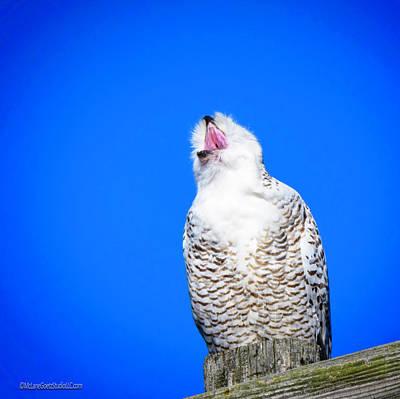Photograph - Singing Snowy Owl  by LeeAnn McLaneGoetz McLaneGoetzStudioLLCcom