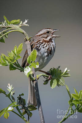Photograph - Singing Song Sparrow by Joann Long
