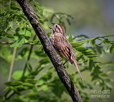 Photograph - Singing Song Sparrow by Kerri Farley