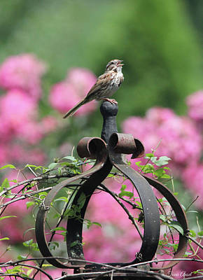 Photograph - Singing Song Sparrow by Trina Ansel