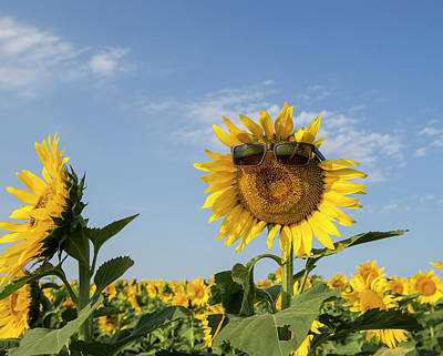 Photograph - Singing Sunflower by Chris Harris