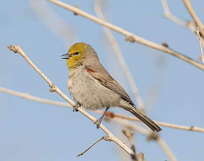 Photograph - Singing Verdin by Loree Johnson
