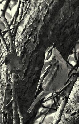Singing Warbler Original