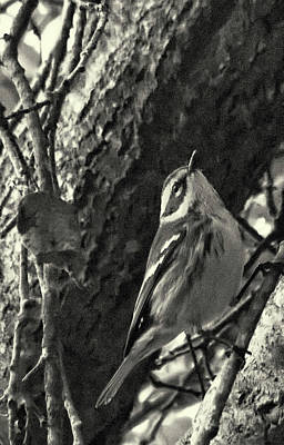 Singing Warbler Original by Arthur Bohlmann
