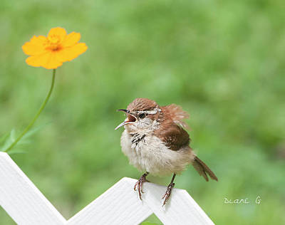 Photograph - Singing Wren by Diane Giurco
