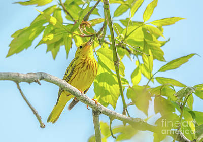 Photograph - Singing Yellow Warbler by Cheryl Baxter