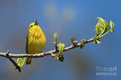 Singing Yellow Warbler Art Print