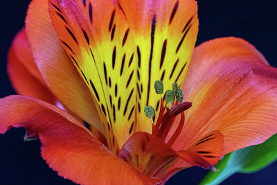 Door Locks And Handles - Single Alstroemeria Inca Flower-1 by Jennifer Wick