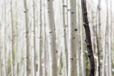 Photograph - Single Black Birch Tree Trunk by Susan Schmitz