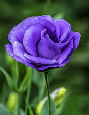 Photograph - Single Blue Flower by Nick Zelinsky