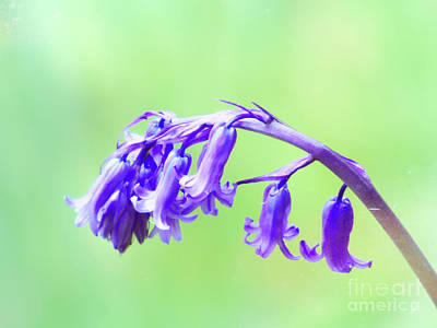 Photograph - Single Bluebell by Lynn Bolt