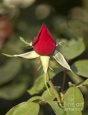 Single Bright Red Rose Bud Art Print by Mark Hendrickson