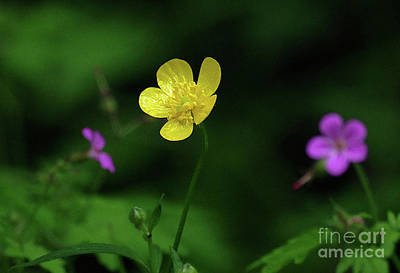 Photograph - Single Buttercup Two Stinky Bob by Rick Bures