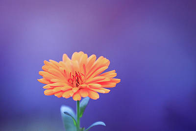 Photograph - Single Calendula Flower  by Eti Reid