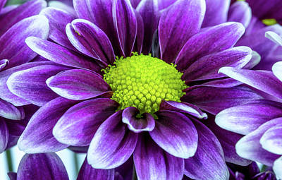 Photograph - Single Chrysanthemum by Greg Thiemeyer