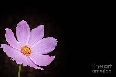 Photograph - Single Cosmos by Elizabeth Dow